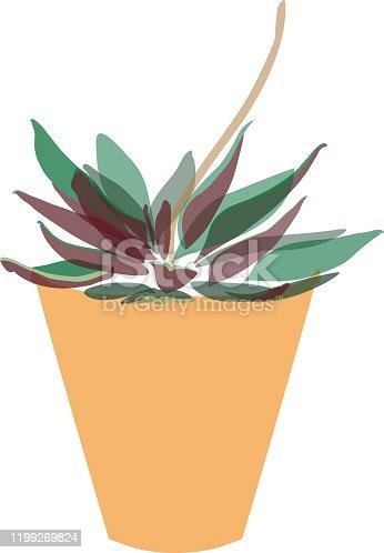 istock Peperomia caperata rosso 1199269824