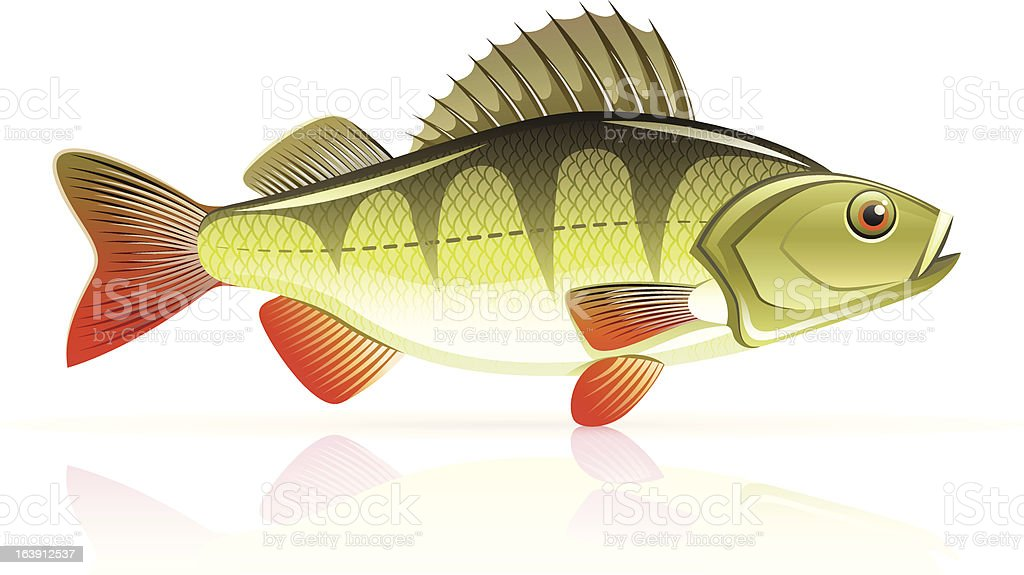 Perch vector illustration on white background royalty-free stock vector art