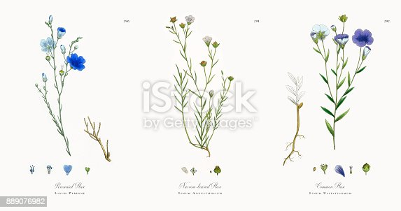 istock Perennial Flax, Linum Perenne, Victorian Botanical Illustration, 186 889076982