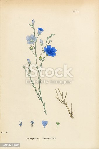istock Perennial Flax, Linum Perenne, Victorian Botanical Illustration, 1863 652377462