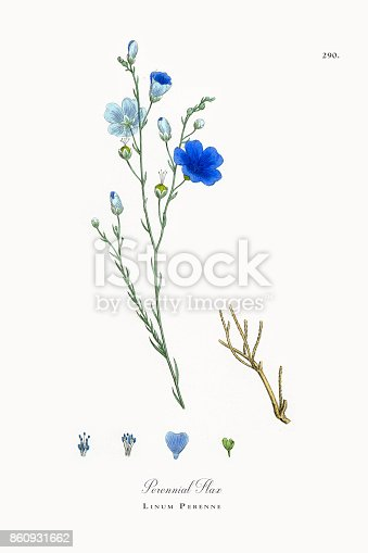 istock Perennial Flax, Linum Perenne, Victorian Botanical Illustration, 1863 860931662