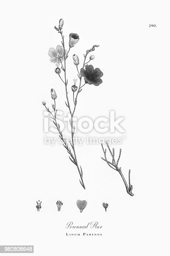 istock Perennial Flax, Linum Perenne, Victorian Botanical Illustration, 1863 982808648