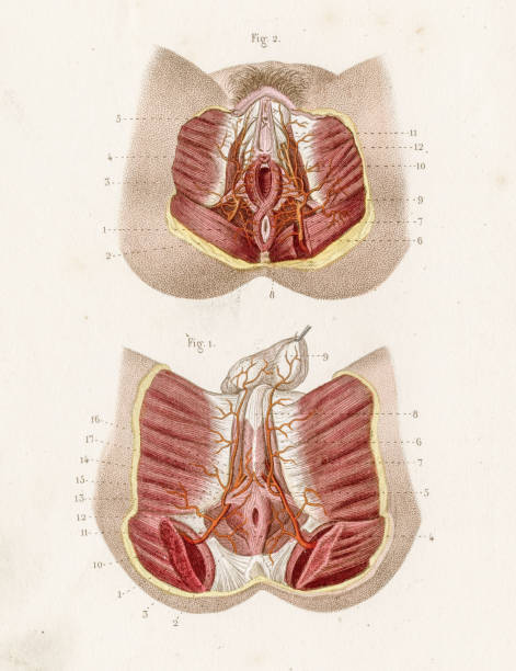 Perineum anatomy engraving 1886 A Text book of Naked Eye Anatomy sciatic nerve stock illustrations