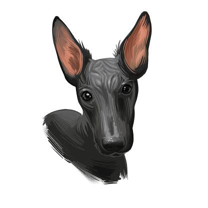 Peruvian Hairless dog portrait isolated. Digital for web, t-shirt print and puppy food cover design, clipart. Perro Sin Pelo de Peru, Inca Dog, Viringo, Peruvian Inca Orchid, Calato, Dielmatian.