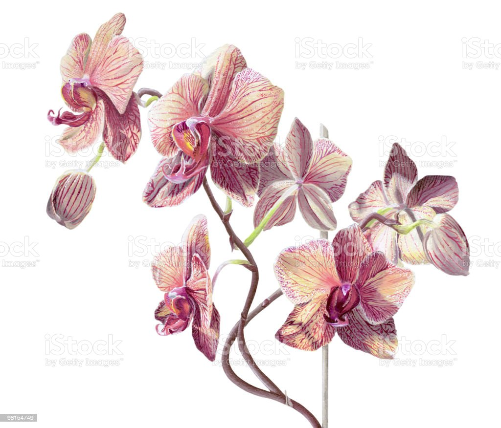 Phalaenopsis Orchid Painting on White royalty-free phalaenopsis orchid painting on white stock vector art & more images of acrylic painting