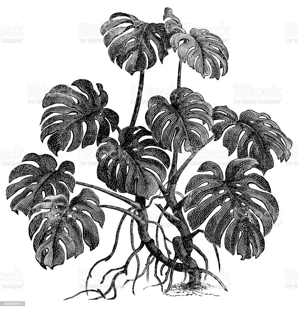 Filodendro (philodendron pertusum) - ilustración de arte vectorial