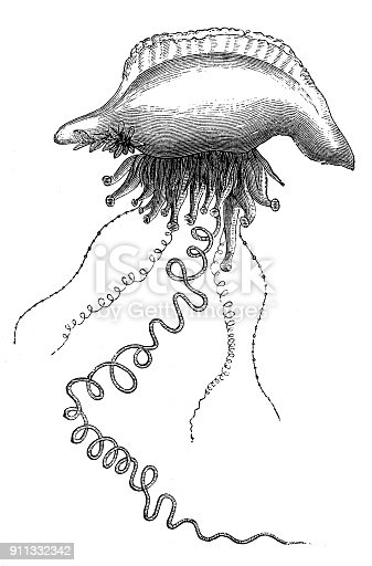 Illustration of a Physalia utriculus, also called blue bottle or (Indo-Pacific) Portuguese man-of-war