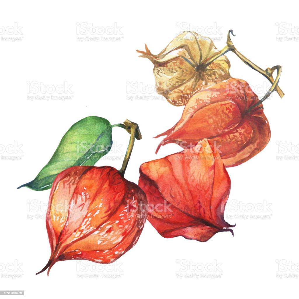 Frutos de Physalis baya rama (groundcherries, baya del Inca, uchuva, bayas de oro). Naranja, rojo seco physalis linternas. Acuarela dibujado a mano pintura ilustración aislada sobre fondo blanco. - ilustración de arte vectorial