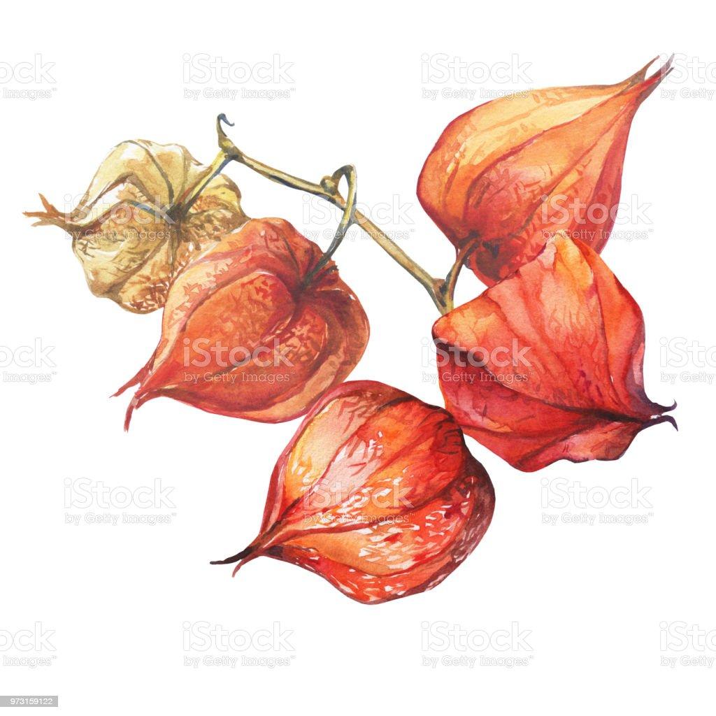Bayas de fruta de Physalis (cereza de invierno groundcherries, uchuva, poha baya, baya de oro). Linternas de physalis seca naranja. Acuarela dibujado a mano pintura ilustración aislada sobre fondo blanco. - ilustración de arte vectorial