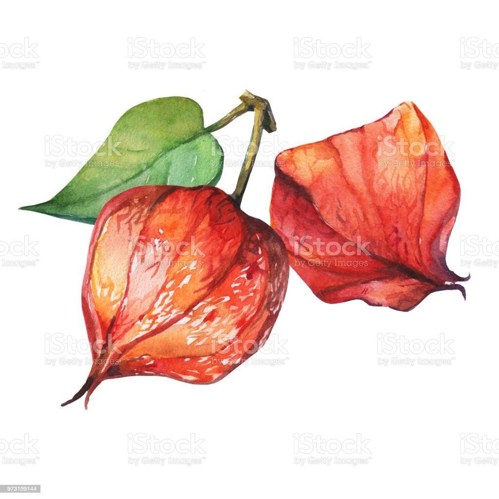Baya de fruta de Physalis (groundcherries, baya del Inca, uchuva, bayas de oro). Naranja, rojo seco physalis linternas. Acuarela dibujado a mano pintura ilustración aislada sobre fondo blanco. - ilustración de arte vectorial