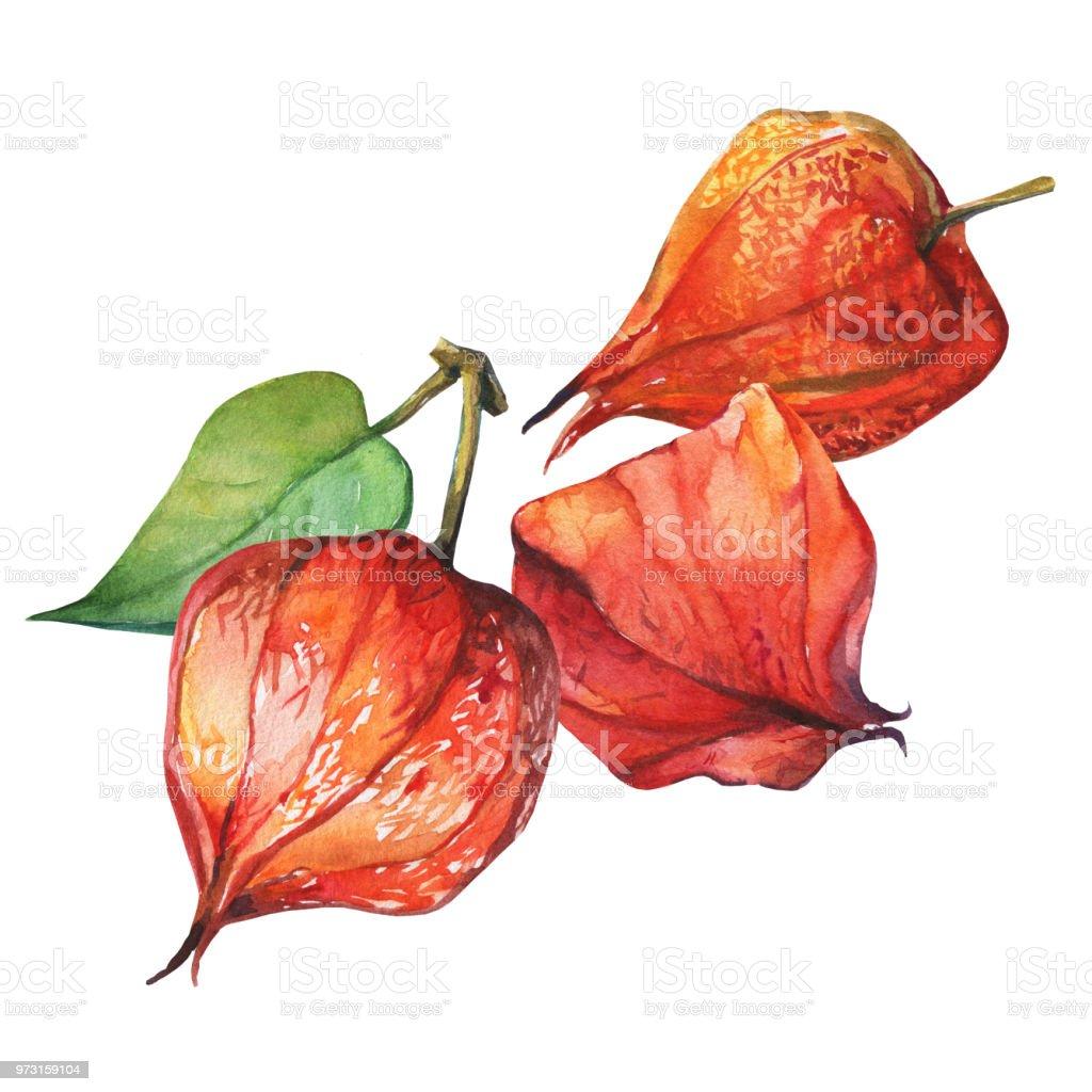 Baya de fruta de Physalis (cereza de invierno groundcherries, uchuva, poha berry, bayas de oro). Linternas de physalis seco rojo. Acuarela dibujado a mano pintura ilustración aislada sobre fondo blanco. - ilustración de arte vectorial