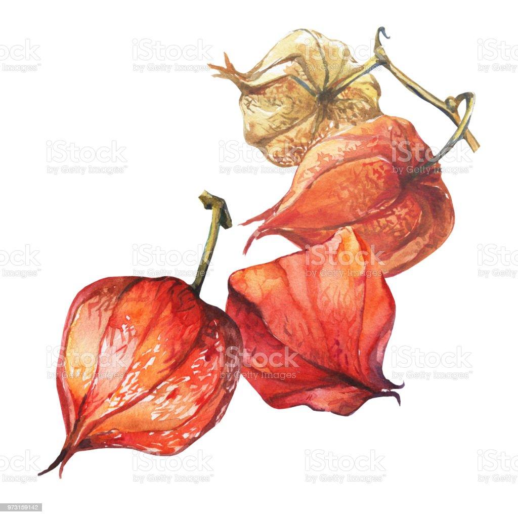 Bayas de fruta de Physalis (cereza de invierno groundcherries, uchuva, poha baya, baya de oro). Linternas de physalis seco rojo. Acuarela dibujado a mano pintura ilustración aislada sobre fondo blanco. - ilustración de arte vectorial