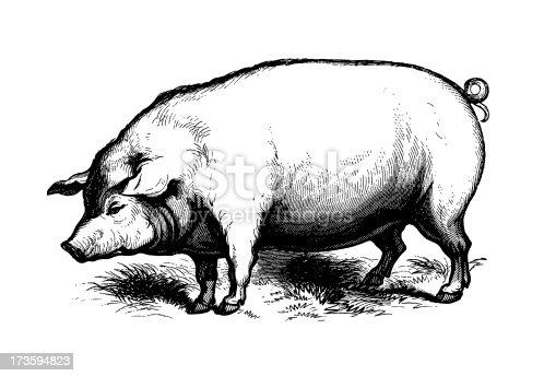 Antique engraving of a pig. Published in Systematischer Bilder-Atlas zum Conversations-Lexikon, Ikonographische Encyklopaedie der Wissenschaften und Kuenste (Brockhaus, Leipzig) in 1844. Photo by N.Staykov (2008)