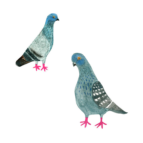 Pigeons Watercolour pigeons isolated on white pigeon stock illustrations