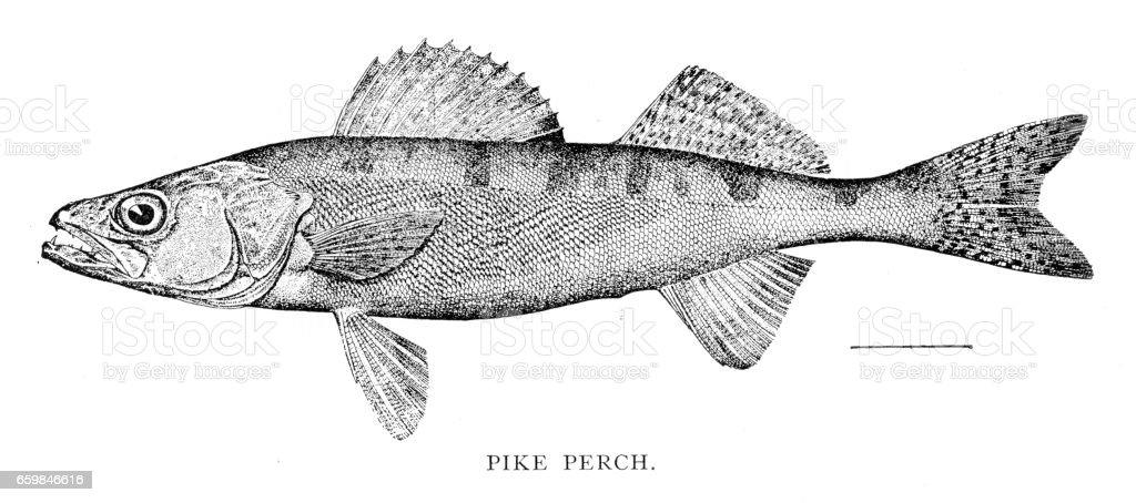 Sandre, gravure de 1898 - Illustration vectorielle
