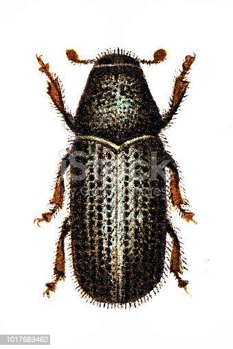 Illustration of a pine beetle (Hylesinus piniperda)