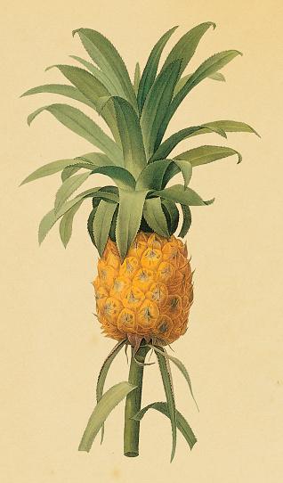 Pineapple | Antique Flower Illustrations