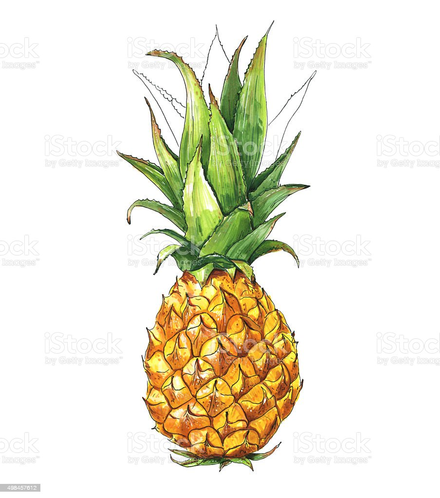 pineapple tropical fruit watercolor illustration hand