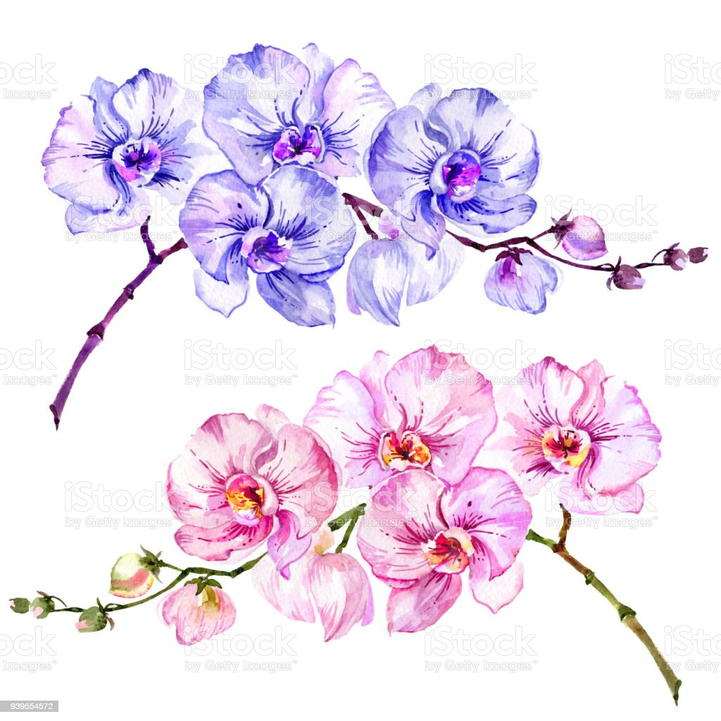 Pink And Blue Moth Orchid Flowers Set Of Two Images Isolated On
