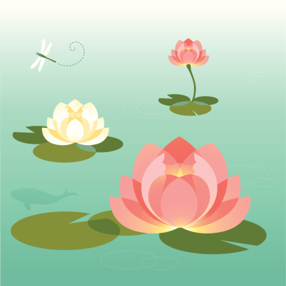 Pink and White Lotus Pond In The Summer