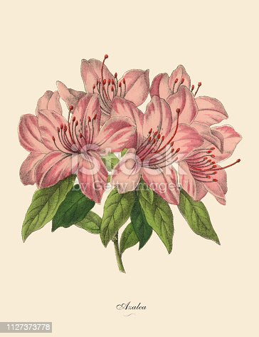 Very Rare, Beautifully Illustrated Antique Engraved Victorian Botanical Illustration of Pink Azalea Plant: Plate 52, from The Book of Practical Botany in Word and Image (Lehrbuch der praktischen Pflanzenkunde in Wort und Bild), Published in 1886. Copyright has expired on this artwork. Digitally restored.