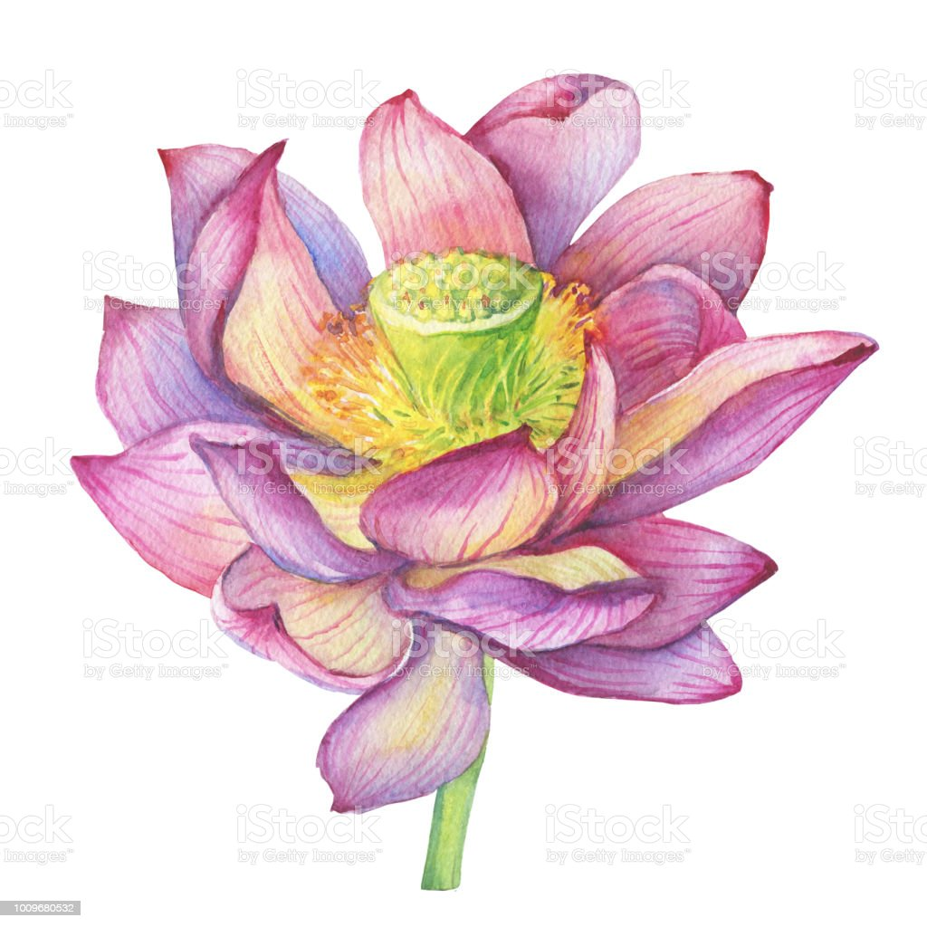 Pink Flowers Lotus Watercolor Hand Drawn Painting Illustration