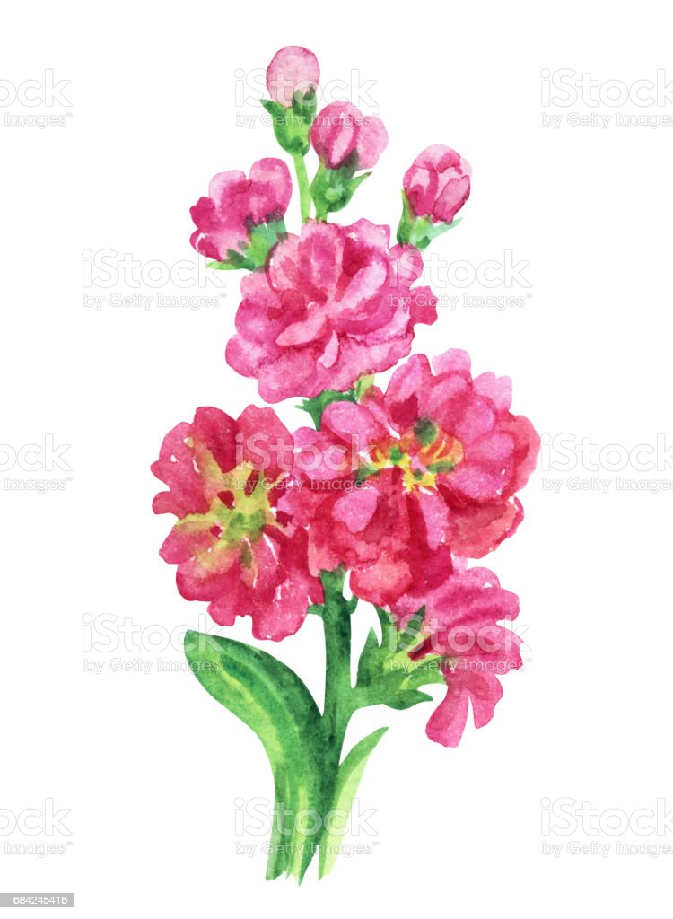 Pink gillyflower royalty-free pink gillyflower stock vector art & more images of cut out