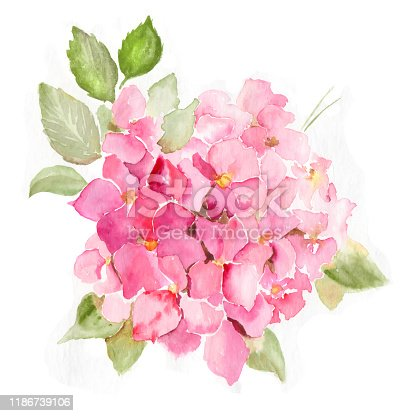Pink Hydrangea flowers surrounded by green foliage. Floral Hand-drawn watercolor summer illustration. Wild spring leaf wildflower Aquarelle. Natural botanical sketch isolated on white background