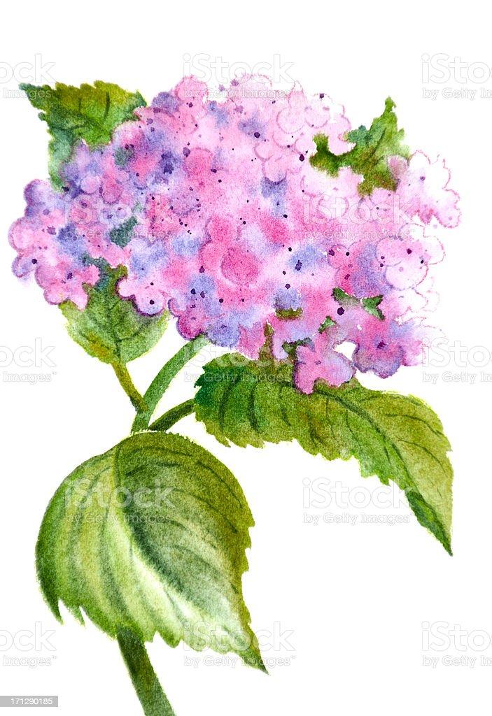 Pink Hydrangea on White vector art illustration