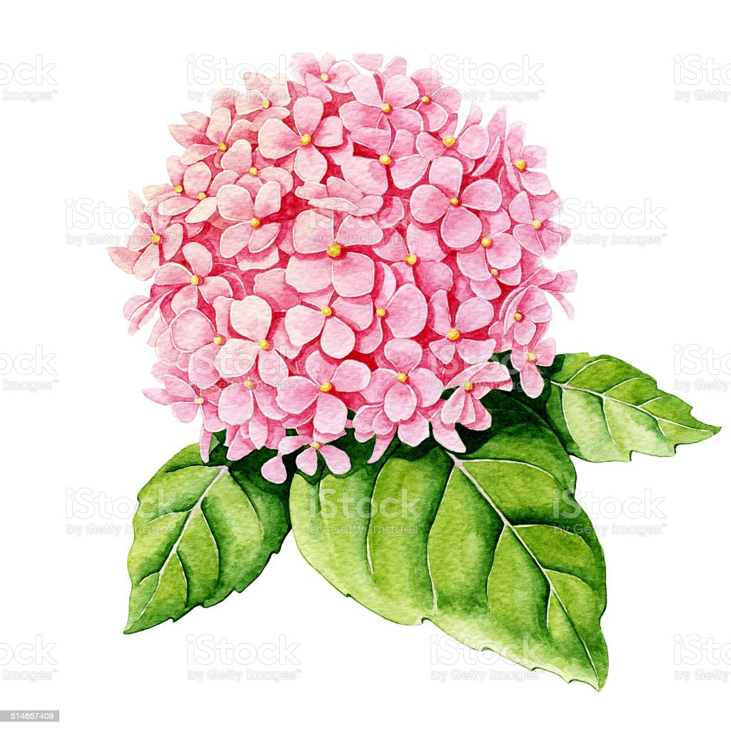 Pink hydrangea. Watercolor vector art illustration