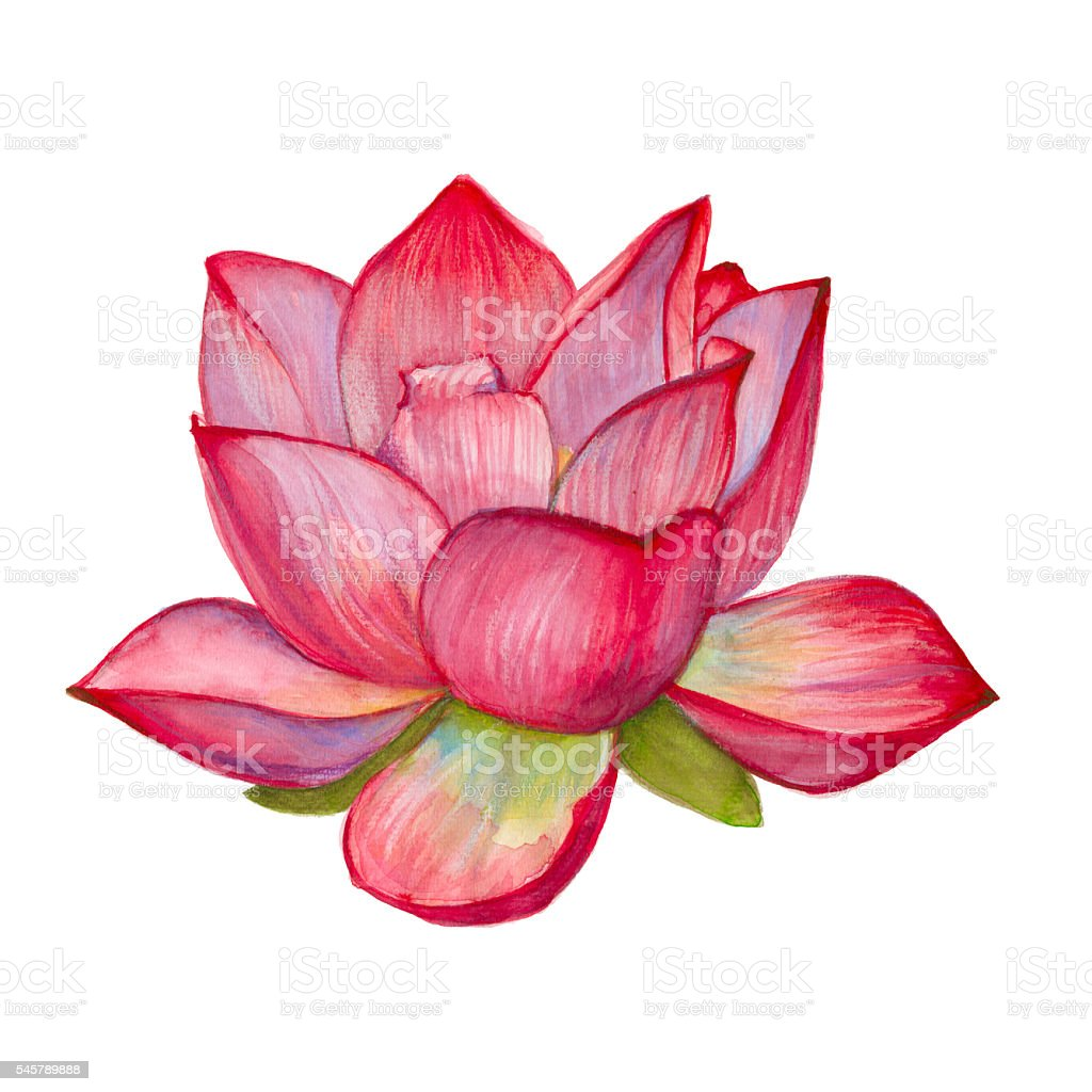 Pink Lotus Flower Isolated Watercolor Illustration Stock Vector Art