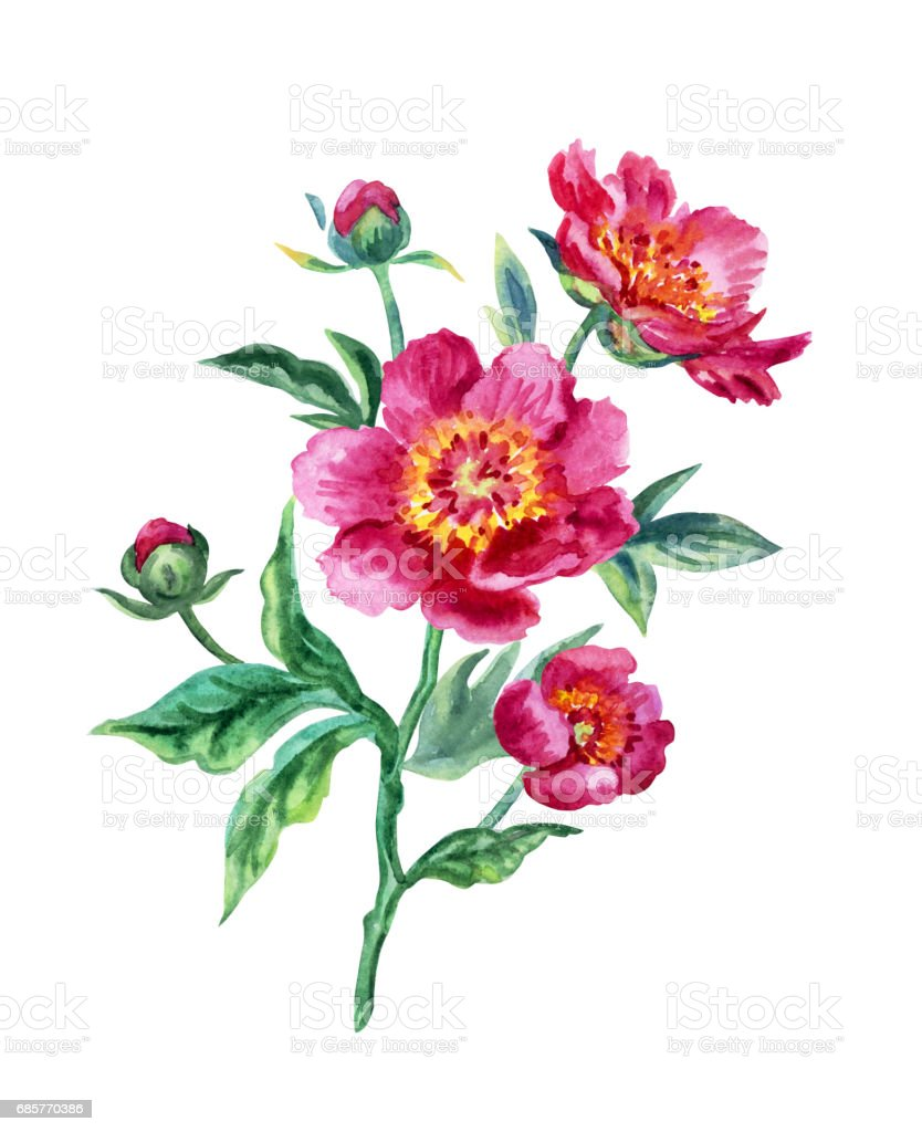 Pink peony royalty-free pink peony stock vector art & more images of bud