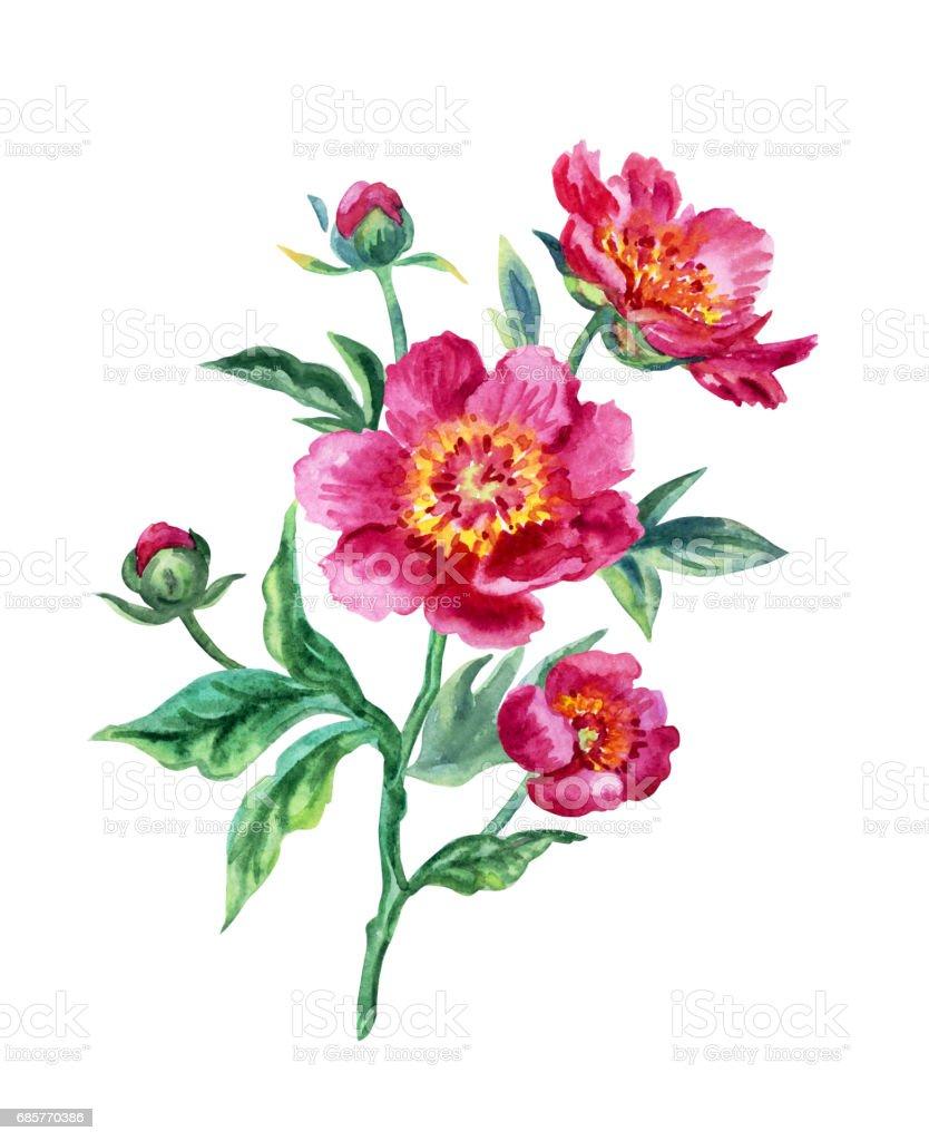 Rose pivoine rose pivoine – cliparts vectoriels et plus d'images de aquarelle libre de droits