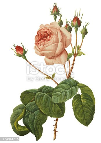 Old illustration of Rosa centifolia Bullata. Engraving by Pierre-Joseph Redoute. Published in Choix Des Plus Belles Fleurs in Paris year 1827.