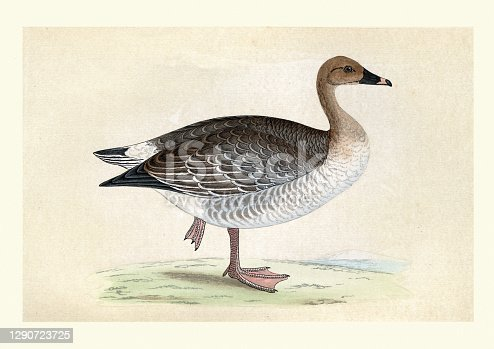 Vintage illustration of a pink-footed goose (Anser brachyrhynchus) is a goose which breeds in eastern Greenland, Iceland and Svalbard.