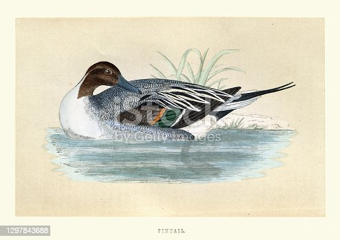 Vintage illustration of The pintail or northern pintail (Anas acuta) is a duck. Wildlife, bird art print
