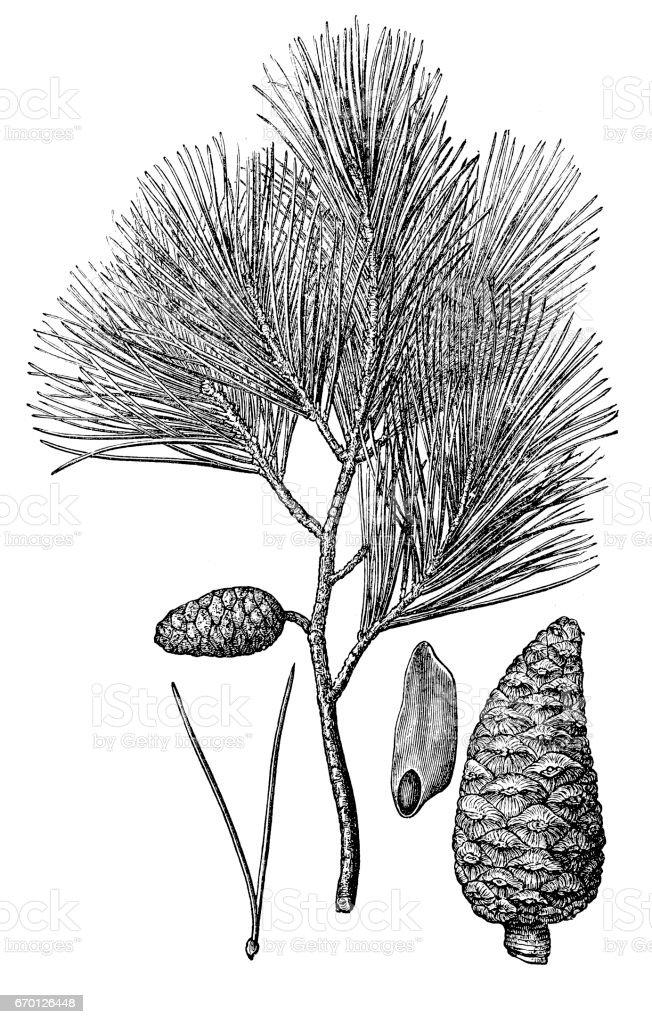 Pinus halepensis (Aleppo pine) vector art illustration