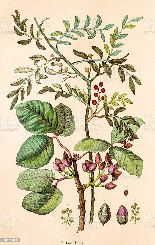 Pistachios plant , 19 century botanical illustration vector art illustration