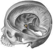 istock Pituitary Gland - Skull & Brain Cutaway Revealing the Location 483800931