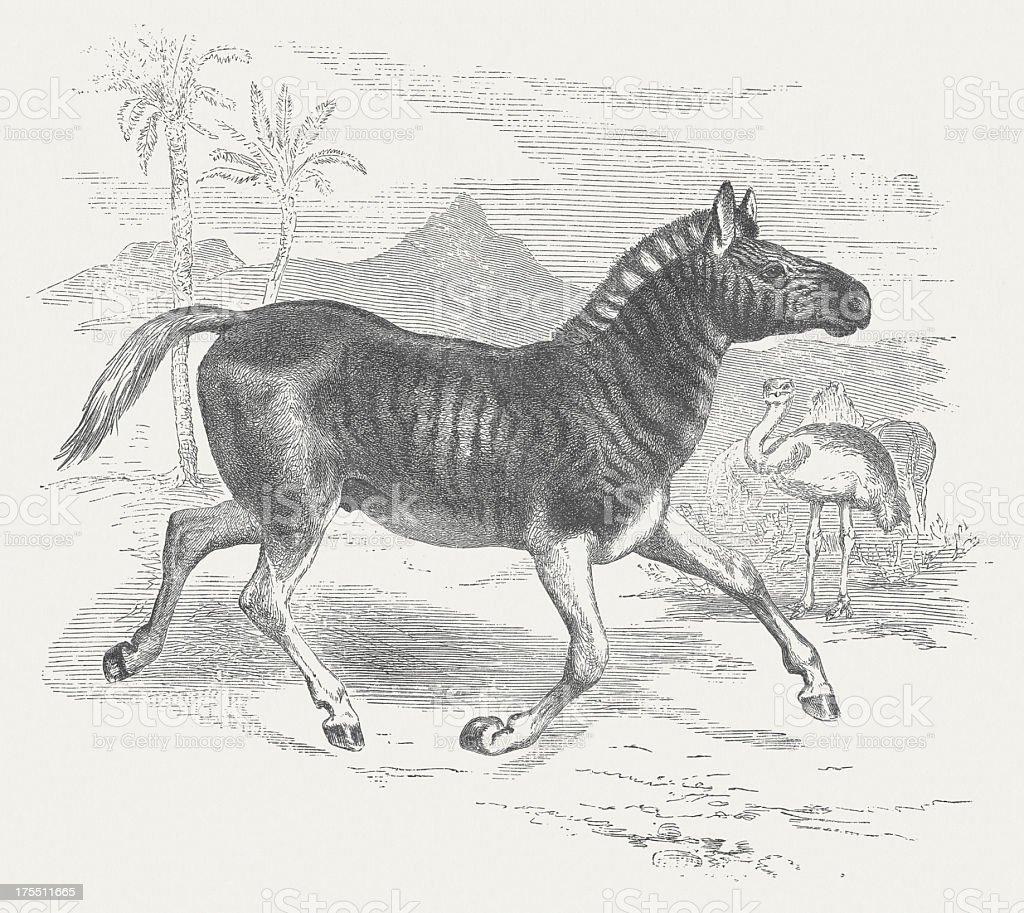 Zèbre de Burchell - Illustration vectorielle