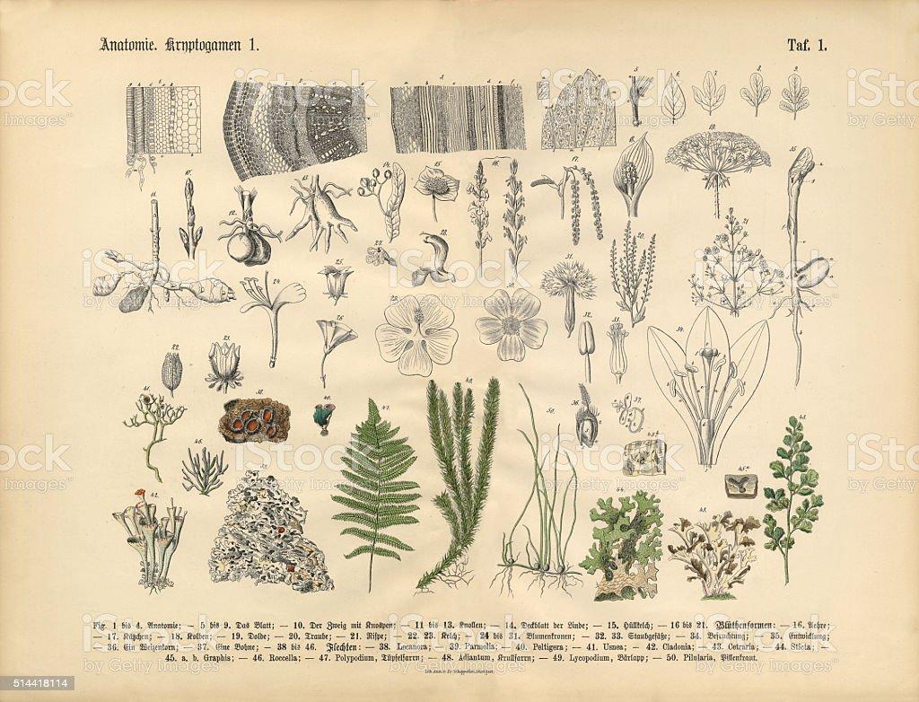 Pflanze Anatomie Viktorianischen Botanischen Illustrationen Stock ...