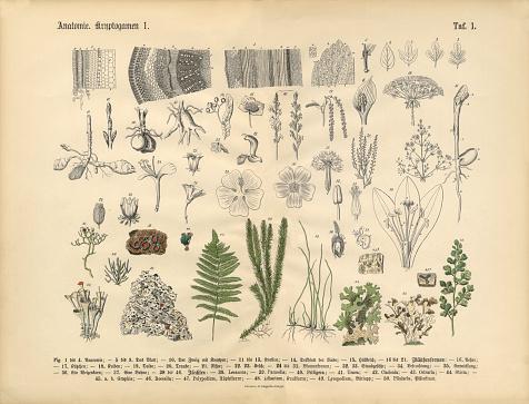 Plant Anatomy, Victorian Botanical Illustration