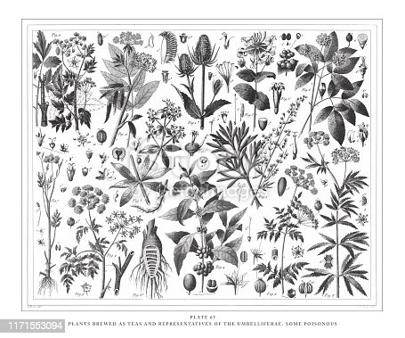 Plants Brewed as Teas and Representatives of the Umbelliferae, Some Poisonous Engraving Antique Illustration, Published 1851. Source: Original edition from my own archives. Copyright has expired on this artwork. Digitally restored.
