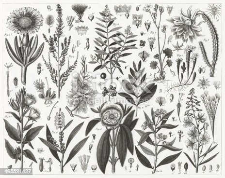 Engraved illustrations of Plants Indigenous to Sandy or Rocky Soil, A Sandlewood and Representatives of the order Myrtales from Iconographic Encyclopedia of Science, Literature and Art, Published in 1851. Copyright has expired on this artwork. Digitally restored.