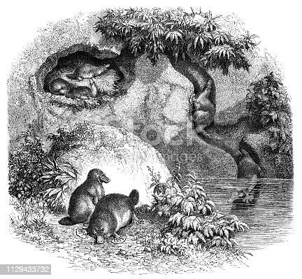 Platypuses in Australia from Magasin Pittoresque. Vintage etching circa mid 19th century.