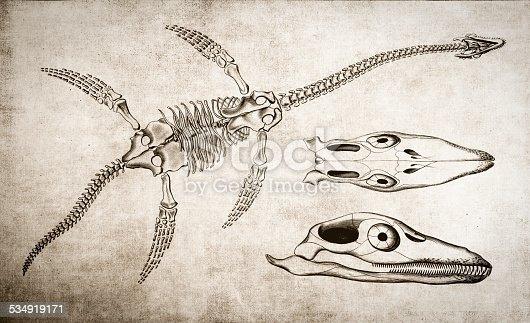 Plesiosaurus Skeleton