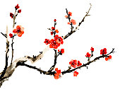 Chinese traditional ink painting, red plum blossom on white background.