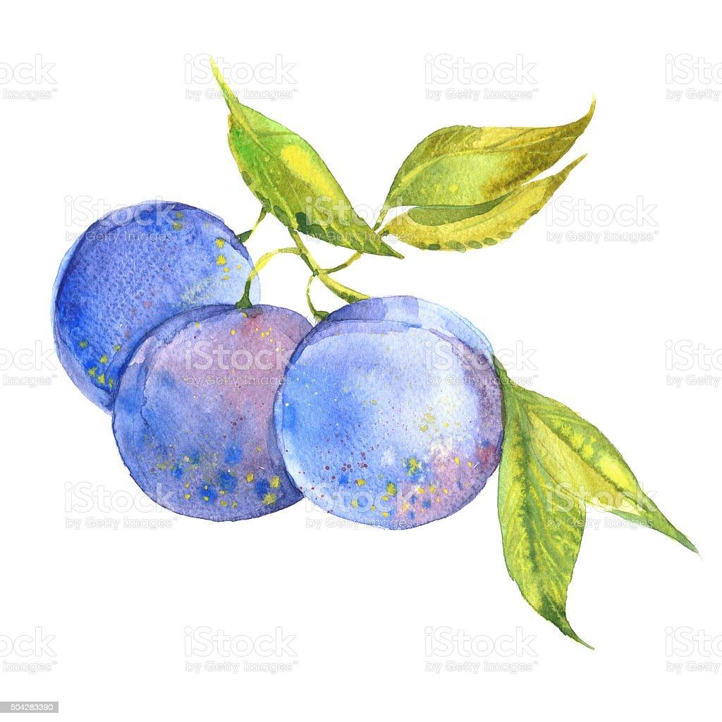 plum on branch vector art illustration