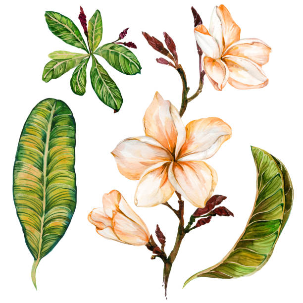 Plumeria flower on a twig. Tropical floral set (flowers and leaves). Isolated on white background.  Watercolor painting. Plumeria flower on a twig. Tropical floral set (flowers and leaves). Isolated on white background.  Watercolor painting. Hand drawn. frangipani stock illustrations