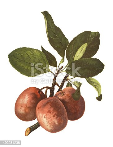 Antique illustration of a plums, isolated on white background.